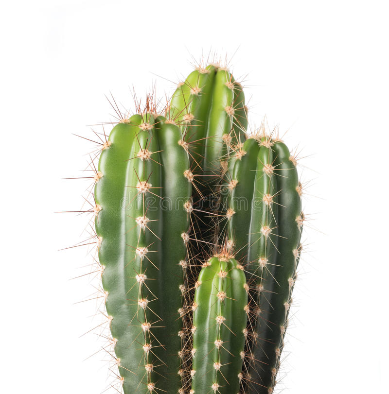 Free Cactus Royalty Free Stock Photography - 56541237