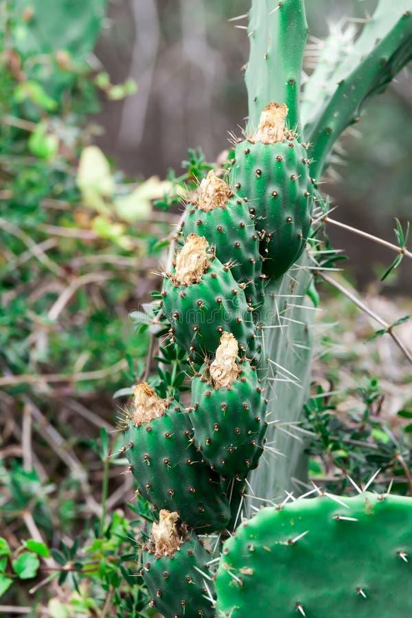 Cactus photographie stock libre de droits