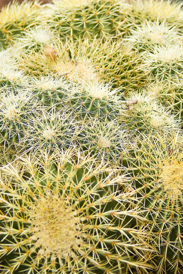 Download Cactus stock photo. Image of green, spikes, cluster, botanical - 8419434
