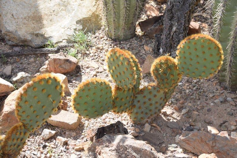Cactus 3 immagine stock libera da diritti