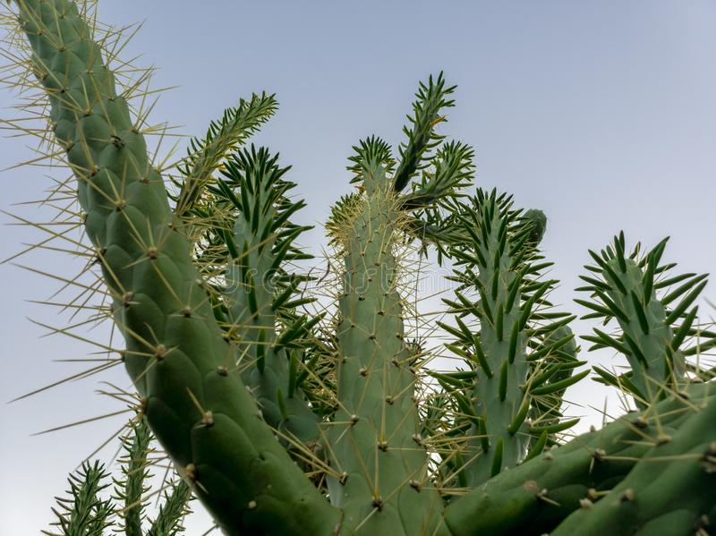 Cactus against clear blue sky stock images