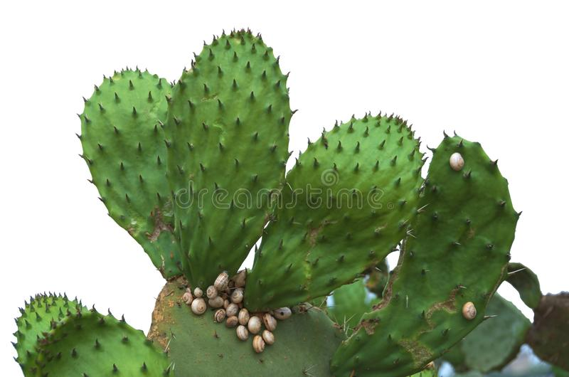 Cactus aislado del higo chumbo con los caracoles fotografía de archivo