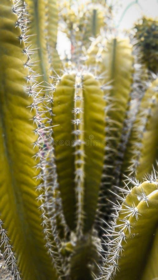 Cactus amarillo imágenes de archivo libres de regalías