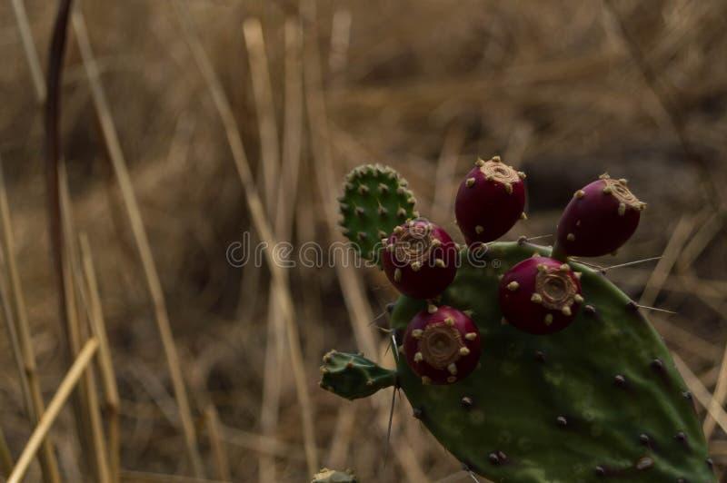 Cactus appuntito in un deserto fotografia stock