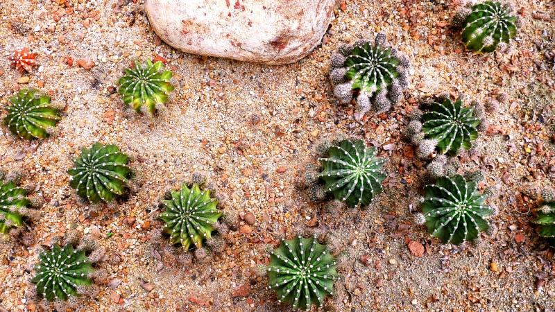 Cactus appuntito verde con roccia nella sabbia osservata dalla cima immagini stock libere da diritti