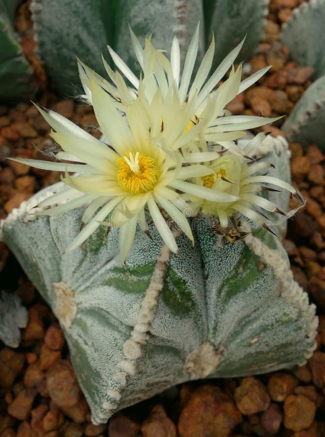 Cactus, asterias d'Astrophytum photographie stock
