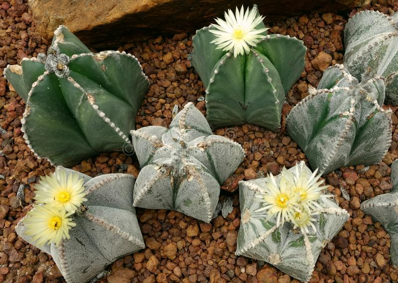 Cactus, asterias d'Astrophytum photos stock