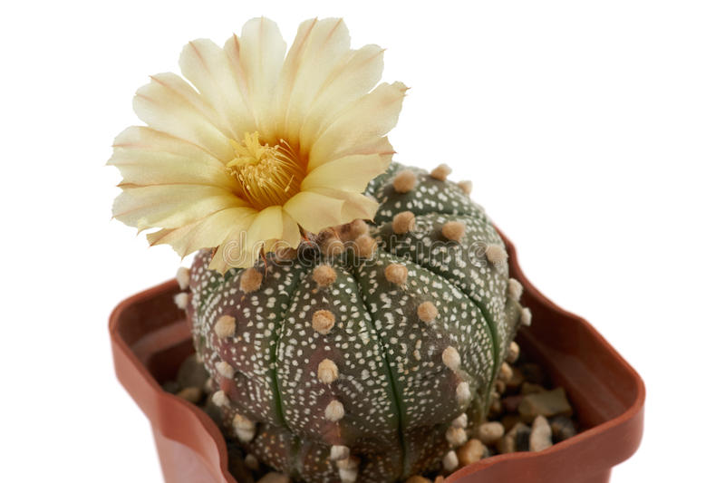 Cactus. Astrophytum asterias. Closeup of blooming cactus with one flower Astrophytum asterias growing in the pot royalty free stock images