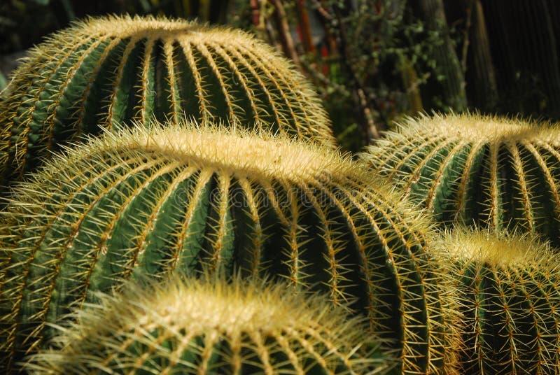 Cactus au printemps image libre de droits