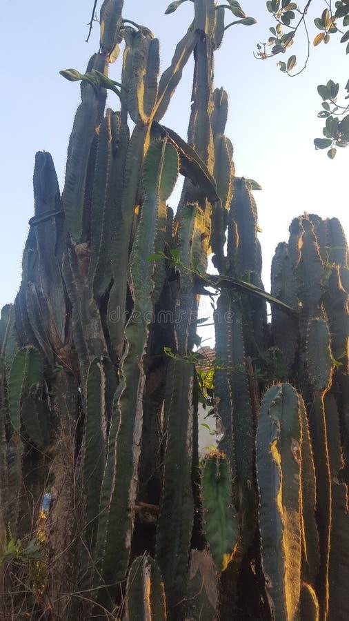 Cactus au Vietnam image stock