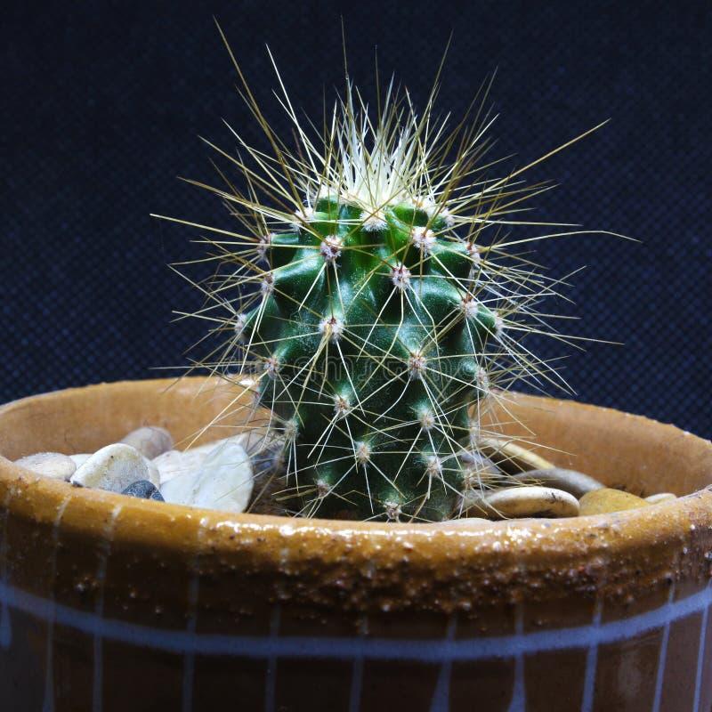 Cactus avec des piquants sur un fond d'isolement noir photographie stock