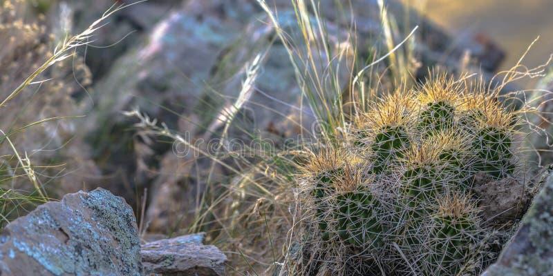 Cactus avec des transitoires s'élevant entre les roches rocailleuses photographie stock