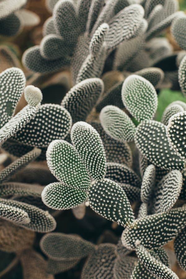 Cactus avec la vue de face de torns blancs photographie stock libre de droits