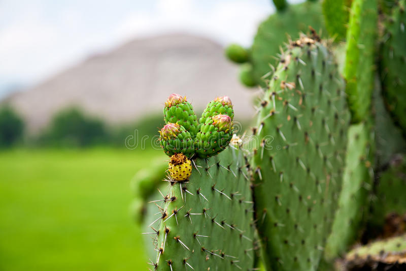 Cactus avec le brun de fruit photos stock