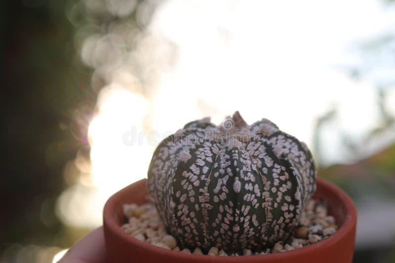 Cactus avec le fond clair égalisant photographie stock libre de droits
