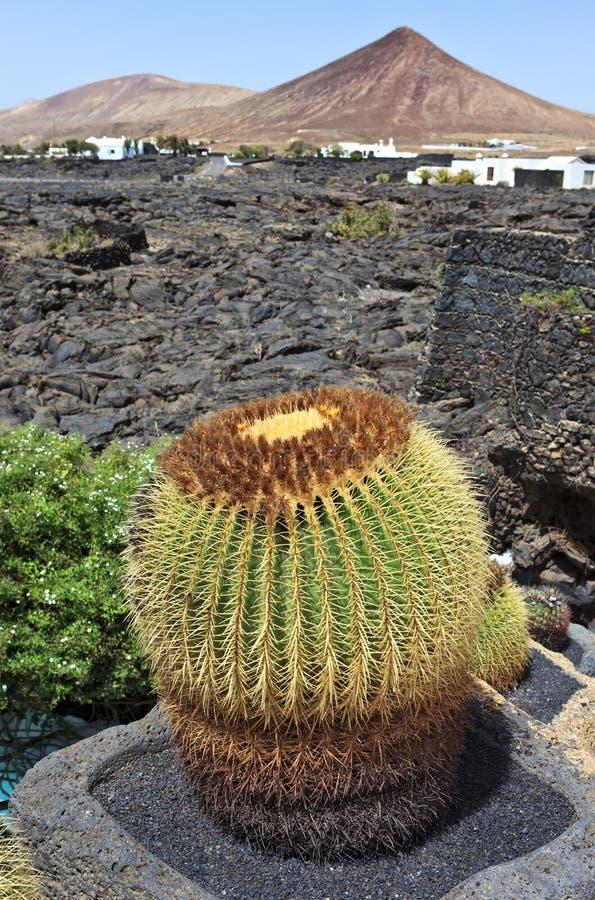 Cactus avec le fond volcanique, Lanzarote images stock
