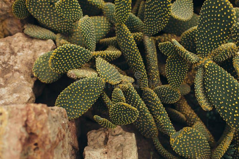 Cactus avec les torns jaunes et la vue supérieure en pierre photo libre de droits