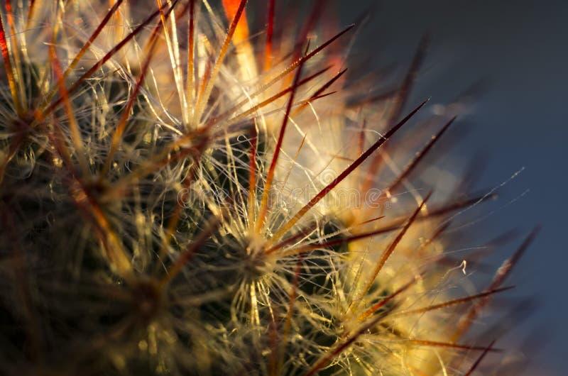 Cactus avec les transitoires rouges photographie stock libre de droits