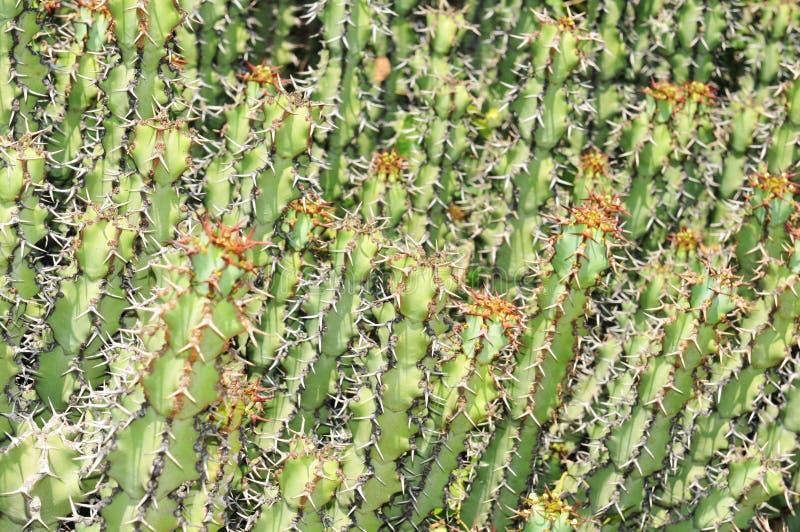 Download Cactus background stock photo. Image of botanical, deserts - 25962980