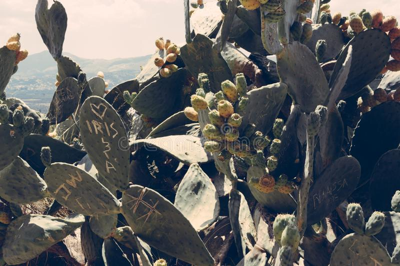 Cactus background / achtergrond, Crete Greece royalty free stock image