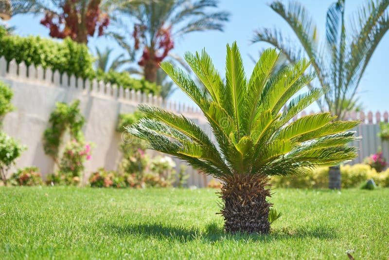 Cactus ball echinocactus grusonii in the garden. Close up of succulent golden barrel cactus. Cactus ball echinocactus grusonii in the garden. Succulent golden royalty free stock image