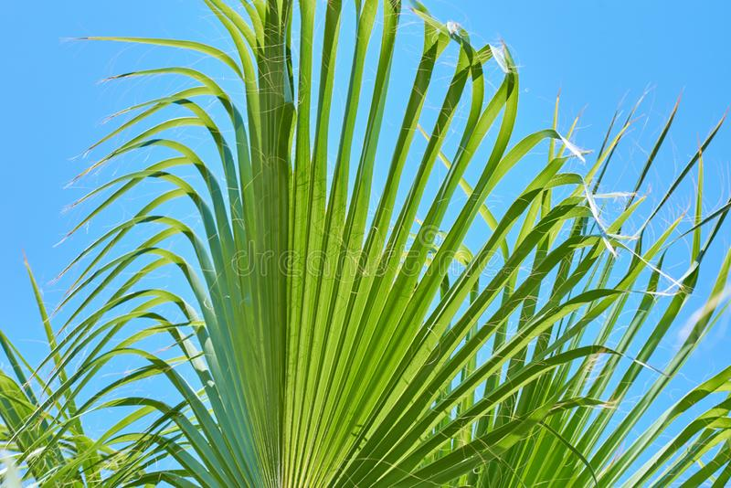 Cactus ball echinocactus grusonii in the garden. Close up of succulent golden barrel cactus. Cactus ball echinocactus grusonii in the garden. Succulent golden stock images