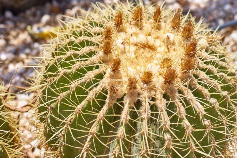 Cactus ball echinocactus grusonii in the garden. Close up of succulent golden barrel cactus. Cactus ball echinocactus grusonii in the garden. Succulent golden stock photos