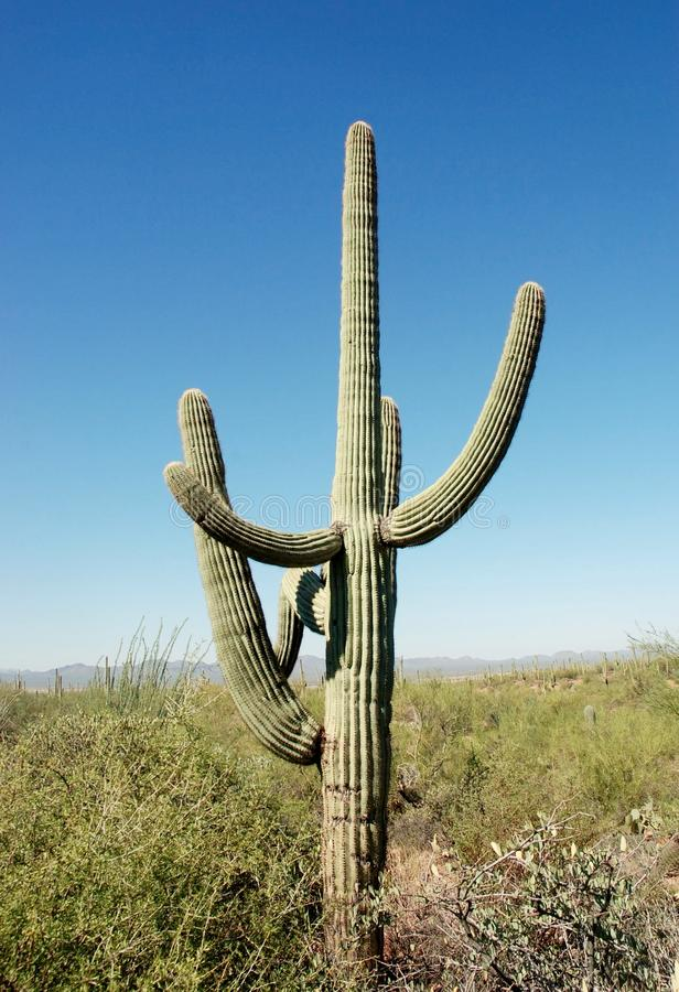 Arizona state giant cacti ballerina. Giant cactus as ballerina during training her most popular position , in reality its very impressive due to height of this stock images