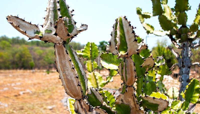 Cactus bianco e verde immagine stock libera da diritti