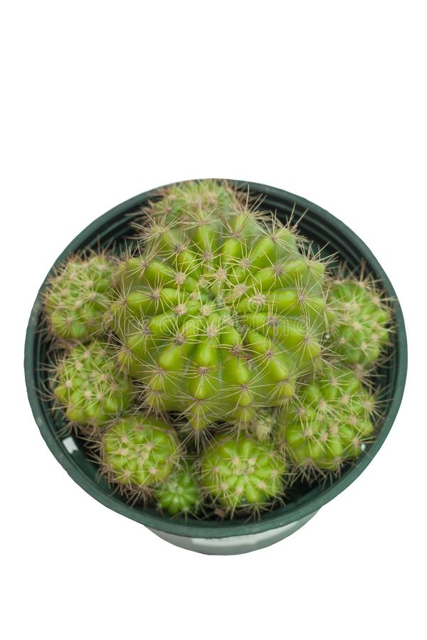 Cactus in black plastic pot isolated on white background with clipping path. stock image