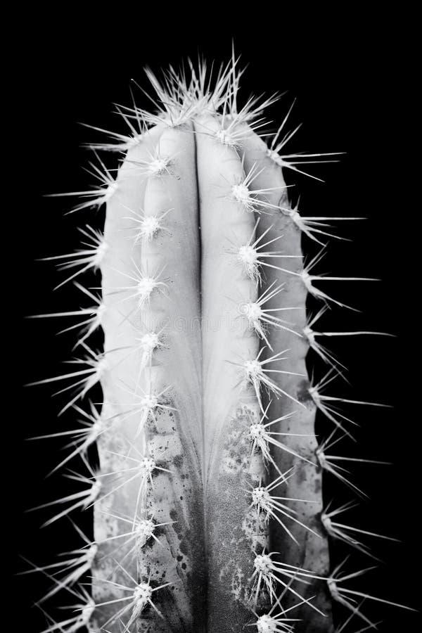 Cactus blanco y negro imagenes de archivo