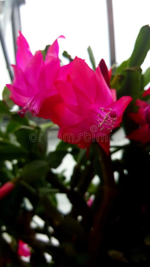 A Cactus Bloom stock images
