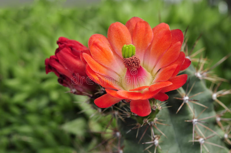 Cactus in bloom. In a garden royalty free stock images