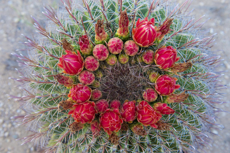 Cactus blooms. In the Sonoran desert in southern Arizona royalty free stock photos