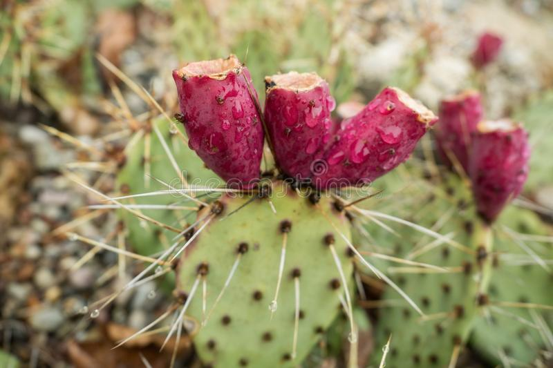 A cactus with a blossom and drops of water royalty free stock photos