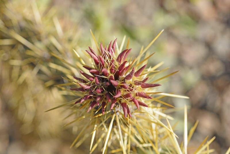 Cactus Blossum de Cholla au printemps photographie stock libre de droits