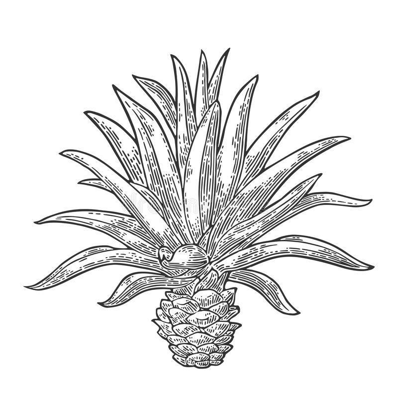 Cactus blue agave. Vintage vector engraving illustration for label, poster. Web. Isolated on white background vector illustration