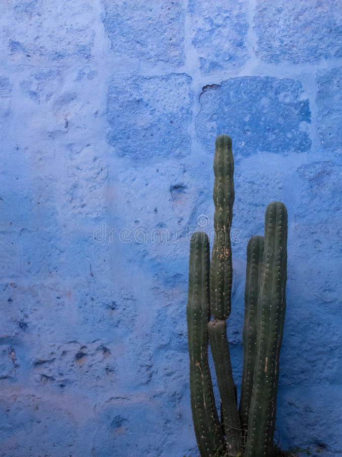 Cactus with blue background stock images