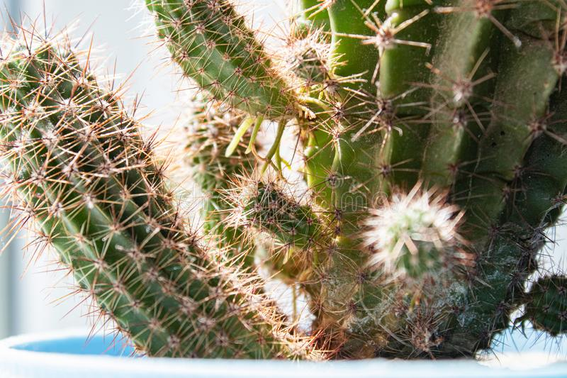 Cactus in a blue pot. Houseplant in a pot of cactus on a white shelf against the background of the wall royalty free stock photos