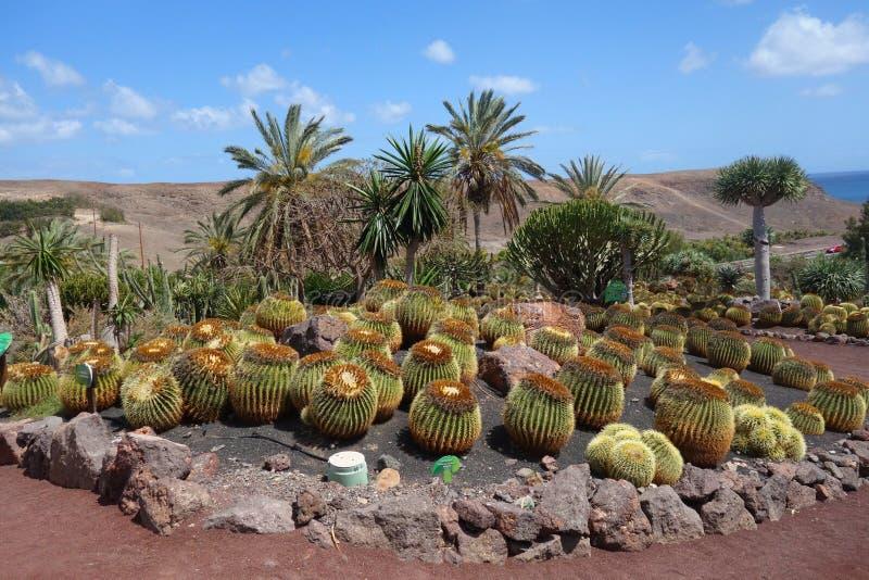 Cactus in botanical garden in Fuerteventura island royalty free stock photos