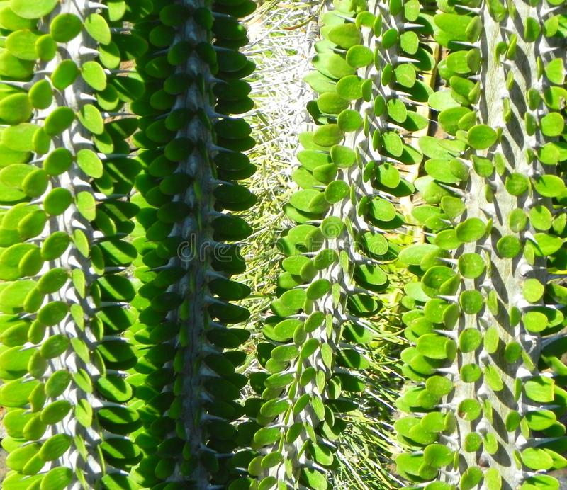 Cactus, botanical garden. stock image