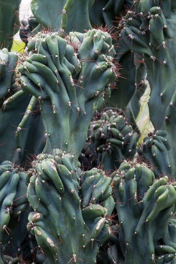 Cactus Cactaceae, Cereus Hildmannianus 'Monstrose' stock afbeelding