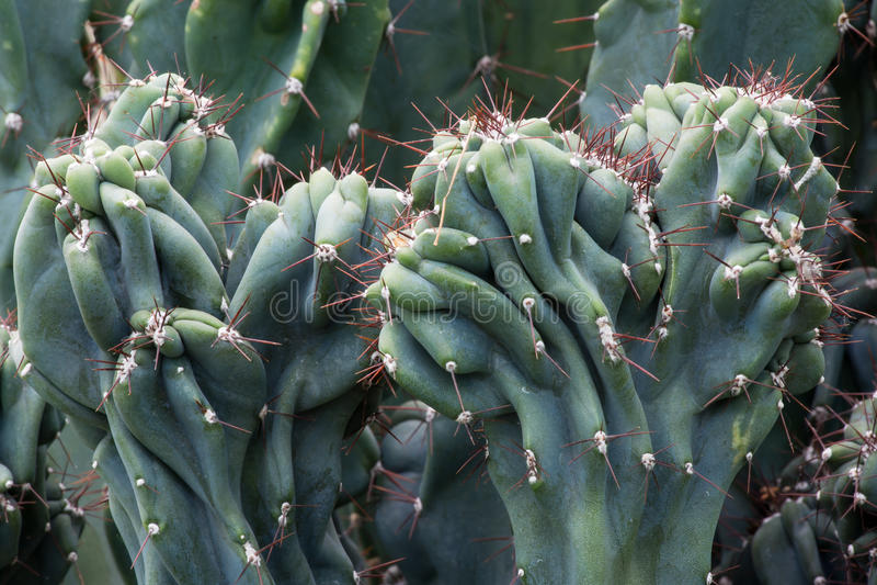 Cactus Cactaceae, Cereus Hildmannianus 'Monstrose' royalty-vrije stock foto's