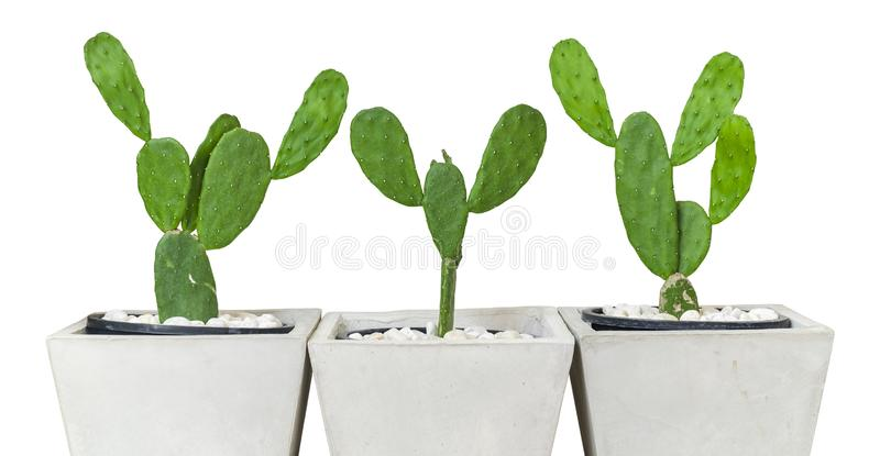 Cactus in the Cement Pot on iSolated White Background.  stock photography