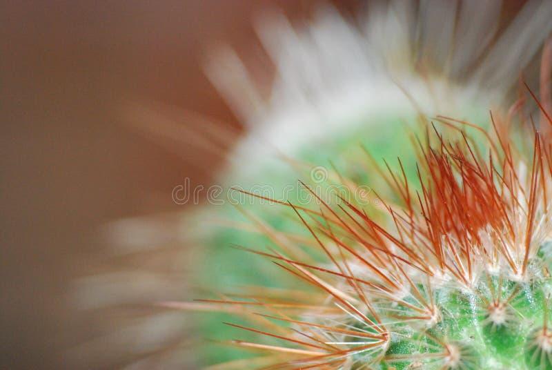 Cactus chulo foto de archivo libre de regalías
