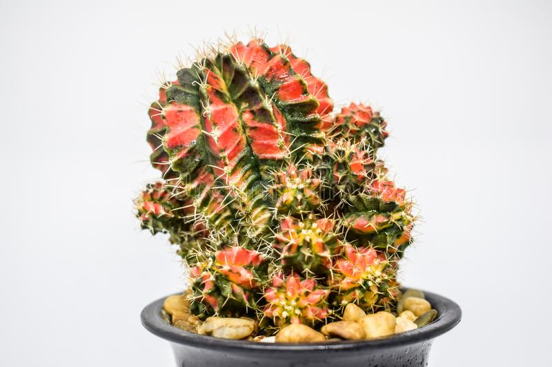 """Cactus - Close up of Beautiful Cactus """" Gymno Multicolors"""" in black pot on white background royalty free stock image"""
