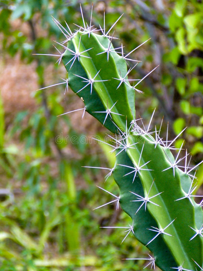 Cactus close up, details royalty free stock image