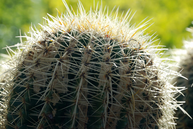 Cactus. Closeup mamy cactus in the sand royalty free stock images