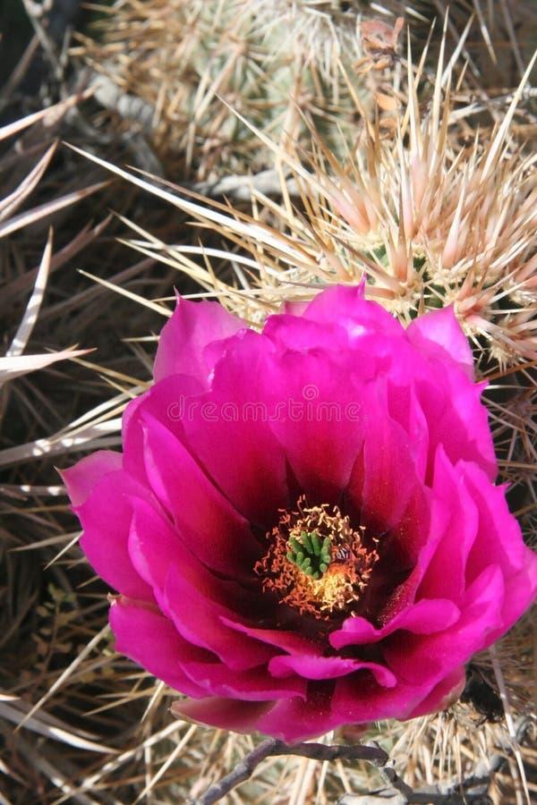 Cactus colorés dans Death Valley image stock