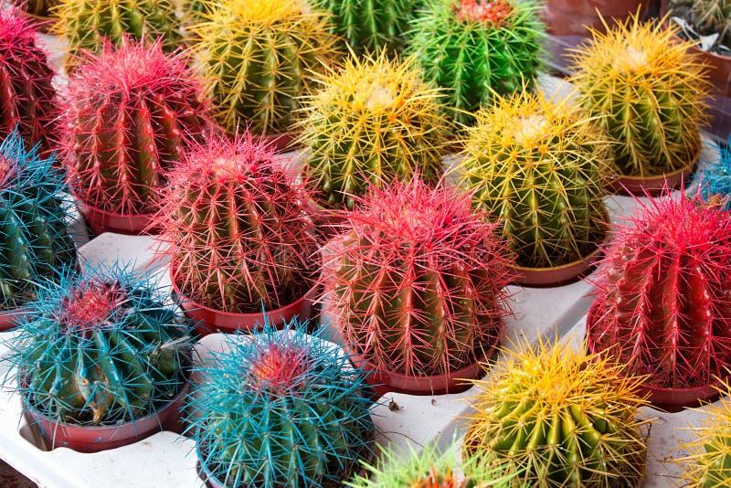 Cactus colorati immagine stock libera da diritti